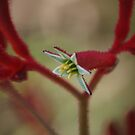 Kangaroo Paw by Keith Smith