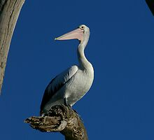 Pelican Portraiture by Michael Humphrys