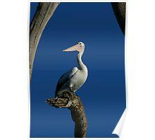 Pelican Portraiture Poster