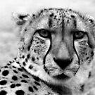 Cheetah by Janine  Hewlett