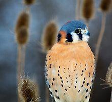 Adult Male American Kestrel Bird by Craig Sterken