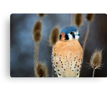 Adult Male American Kestrel Bird Canvas Print