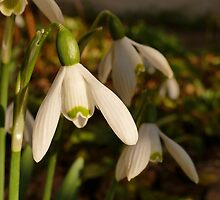 Snowdrop in evening sunlight by Rivendell7