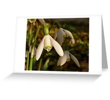 Snowdrop in evening sunlight Greeting Card