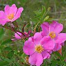 Prairie Rose by Vickie Emms
