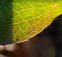 Leaf in translucency I by Nadia Korths