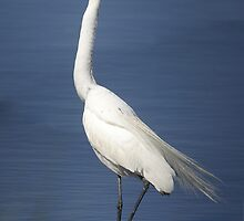 Great Egret by arcadian7