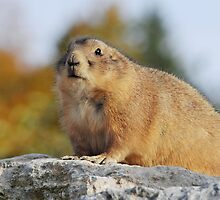 MARMOT in the autumn by mc27