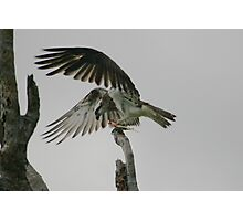 Eastern Osprey Photographic Print