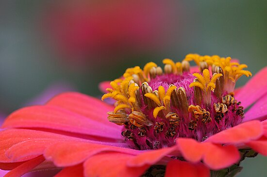 Zinnia Beauty by Bobby McLeod