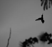 hummingbird by photographica