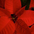 Poinsettia  by Pamela Hubbard