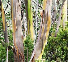 Snow Gum Trees, Tasmania by Heidiglass