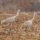 A Pair Of Sandhill Cranes 2014-1 by Thomas Young