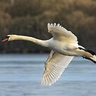 Mute Swan Flight by M.S. Photography/Art