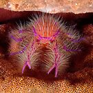 Hairy Squat Lobster by MattTworkowski