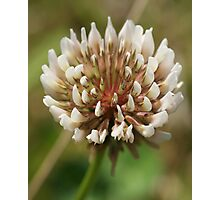 White heads up! Clover... Photographic Print