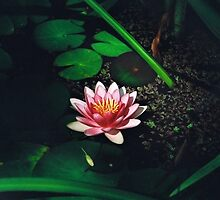 Water Lily in a Dark Pond by Melissa Holland