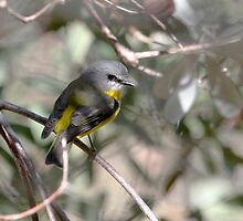 Eastern Yellow Robin by Normf
