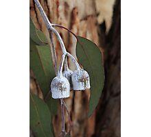 eucalyptus caesia Photographic Print