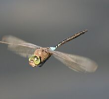 libélula (Spanish Dragonfly) by Paul McGuire