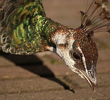 Peahen by CanDuCreations