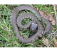 Basking Grass Snake Photographic Print