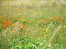 FCMA Meadow - Cape Cod - Barnstable County - Massachusetts by MotherNature