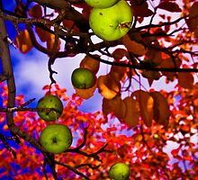 Fall Apples by Nick  Cardona