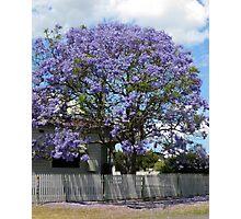 Jacaranda Tree in Bloom Photographic Print