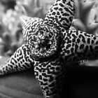 Stapelia by ellemensorcelle