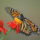 Monarch on Flame Vine by Donna Adamski