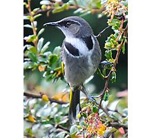 Crescent Honey Eater Photographic Print