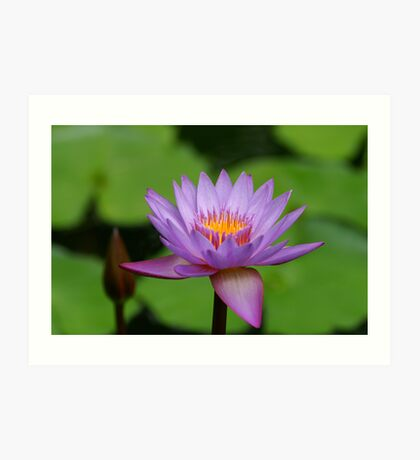 Waterlilly Art Print