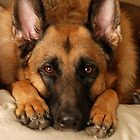 German Shepherd Dog by AngieM