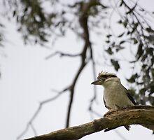 - kookaburra - by Nathan v.D