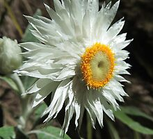 White Paper Daisy (Coronidium elatum) by Marilyn Harris