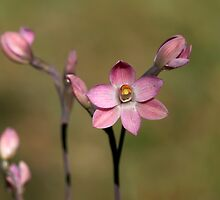 Common Pink Sun Orchid - Mount Barker Summit by LeeoPhotography