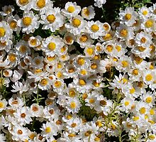 Sunny Little Daisies by Penny Smith