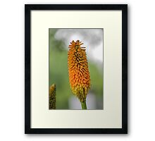 red hot poker plants Framed Print