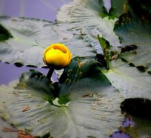 Rocky Mountain Lilly Pad by photocracy