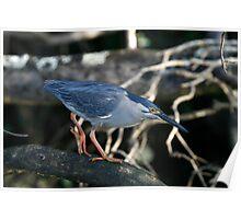 Striated Heron Stalking Poster