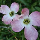 Dogwood flowers by Phemie