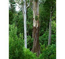 Mountain Ash, Otways. Photographic Print