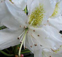 (2) Lillies White, Raindrop Wet  by Vanessa  Warren