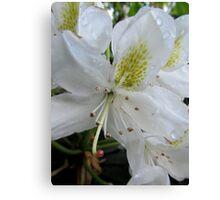 (2) Lillies White, Raindrop Wet  Canvas Print