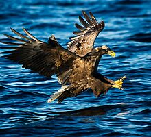 Sea Eagle Dives by CrimsonSkyPhoto