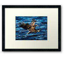 Sea Eagle Dives Framed Print