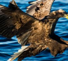 Sea Eagle Dives Sticker