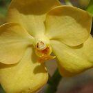 Vanda Orchid - Fuchs Gold by Donna Adamski